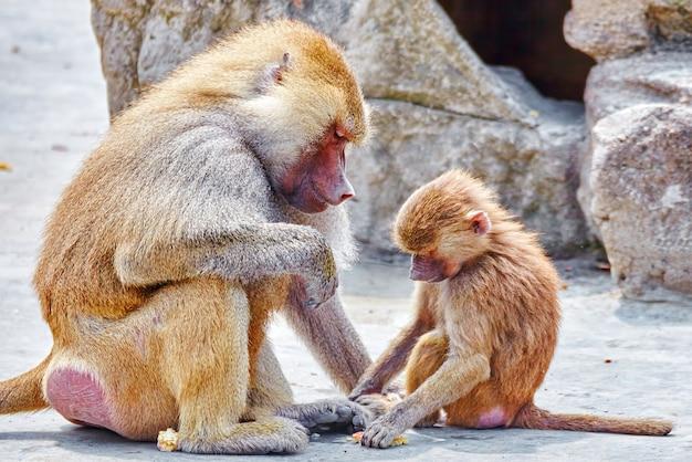 Hamadryas pawian monkey w swoim naturalnym środowisku.