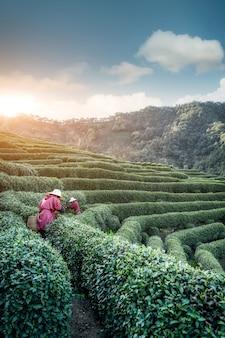 Hangzhou west lake longjing herbaciana góra