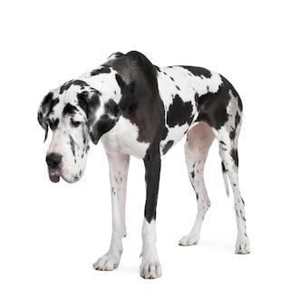 Harlequin dog niemiecki