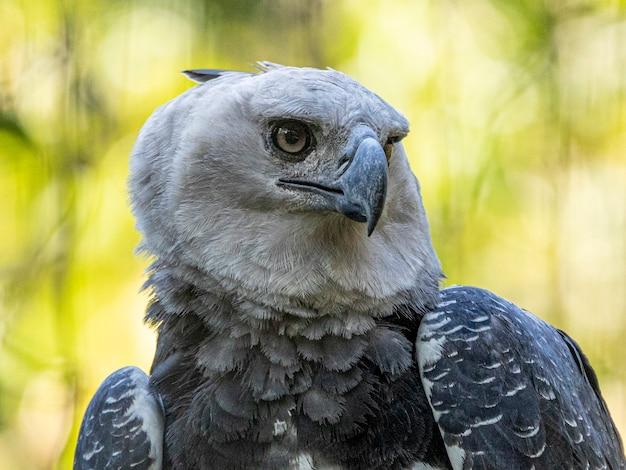 Harpia eagle (harpia harpyja) z zielonym bokeh natury jako tło.