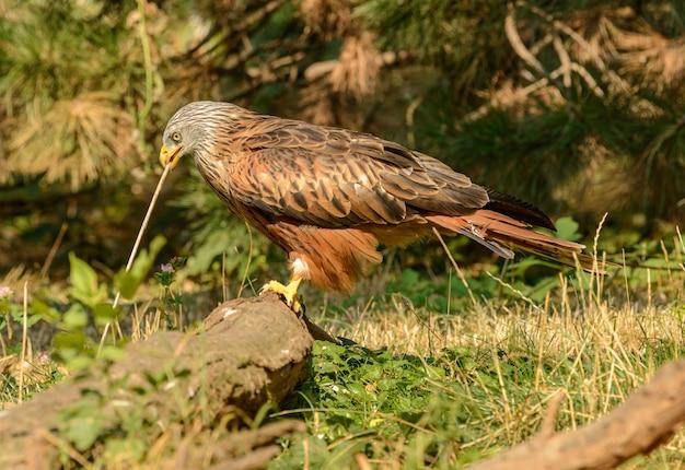 Hawk używa gałązki jako narzędzia