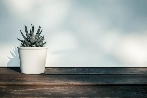 Haworthia attenuata, sukulent w doniczce na drewnianym stole z promieni słonecznych