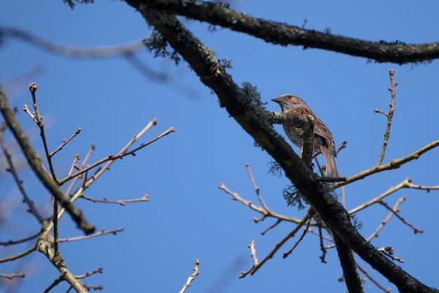 Hedge accentor (dunnock) na drzewie w pobliżu east grinstead