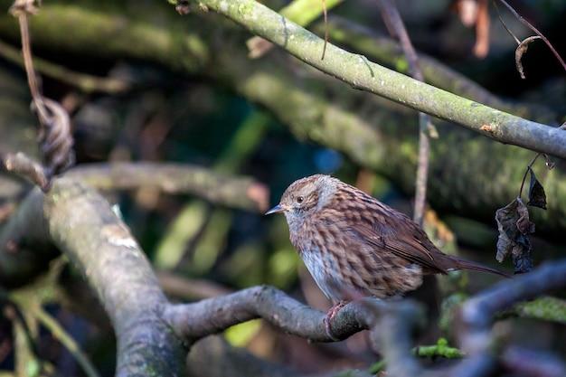 Hedge accentor (dunnock) siedzący na drzewie w sussex