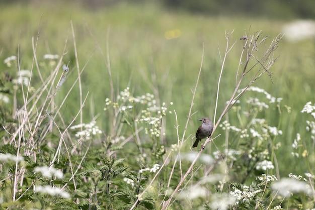 Hedge accentor (dunnock) siedzący wiosną na martwej łodydze