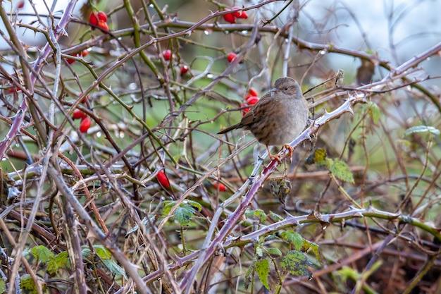 Hedge accentor lub dunnock na wrzoścu zimą
