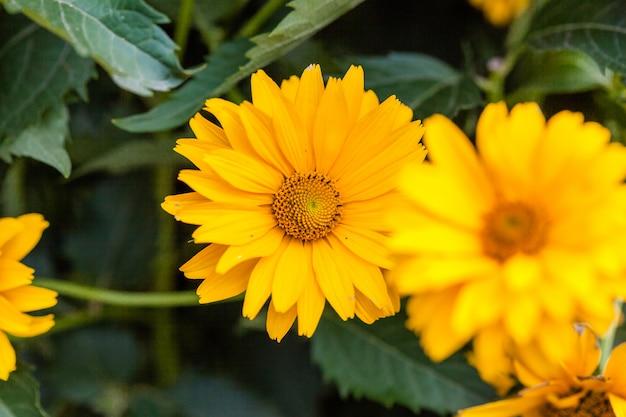 Helianthus divaricatus, szorstki słonecznik lub słonecznik leśny