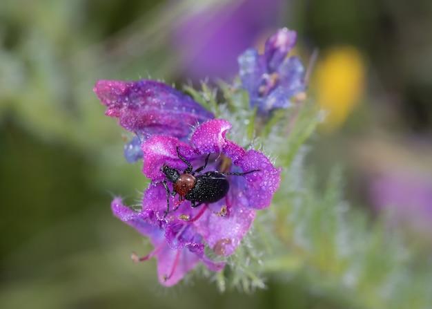 Heliotaurus ruficollis. beetle sfotografowany w swoim naturalnym środowisku.
