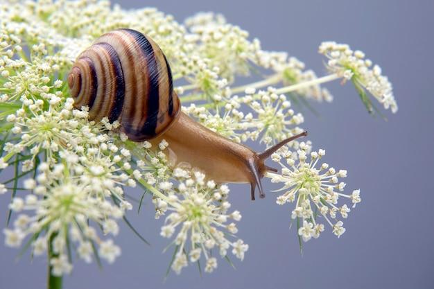 Helix pomatia. mały ślimak czołgający się na kwiatku. mięczaki i bezkręgowce. delikatne mięso i wykwintne potrawy