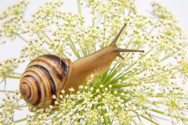 Helix pomatia. mały ślimak czołgający się na kwiatku.