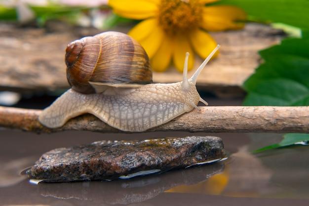 Helix pomatia. ślimak aktywnie raczkuje w naturze
