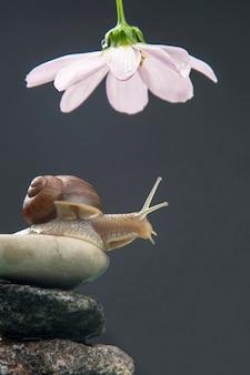 Helix pomatia. ślimak na kamiennej piramidzie rozciąga się, by dotrzeć do białego kwiatu. mięczaki i bezkręgowce. delikatne mięso i wykwintne potrawy
