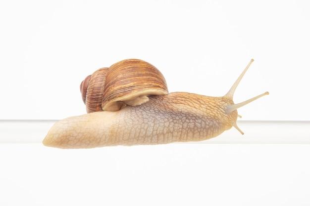 Helix pomatia. ślimaki zwisają z plastikowej rurki. mięczaki i bezkręgowce. delikatne mięso i wykwintne potrawy.