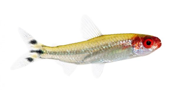 Hemigrammus bleheri ryba na bielu odizolowywającym