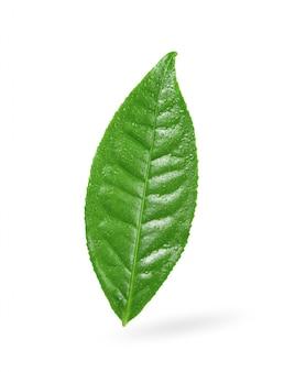 Herbaciany liść z kropli wodą na bielu