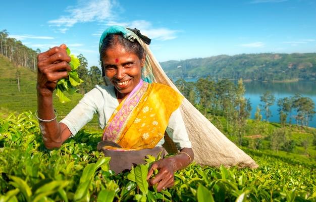 Herbaciany zbieracz przy plantacją w sri lanka