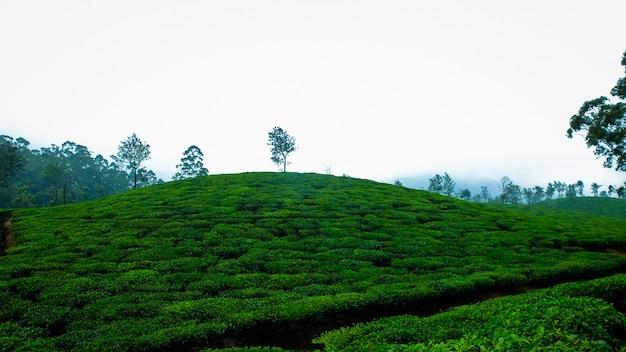 Herbata fajna kawa charakter liści herbaty