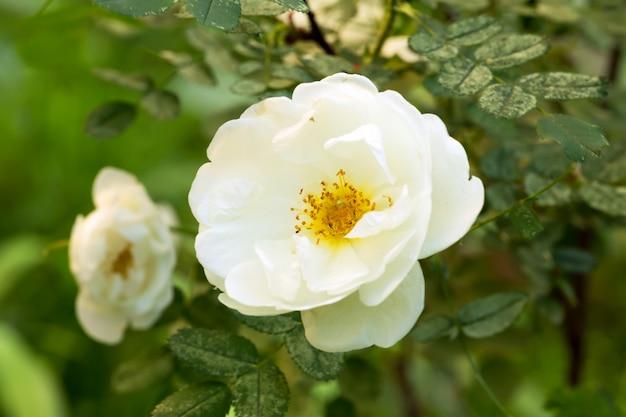 Herbata ogrodowa róża wiosna lato
