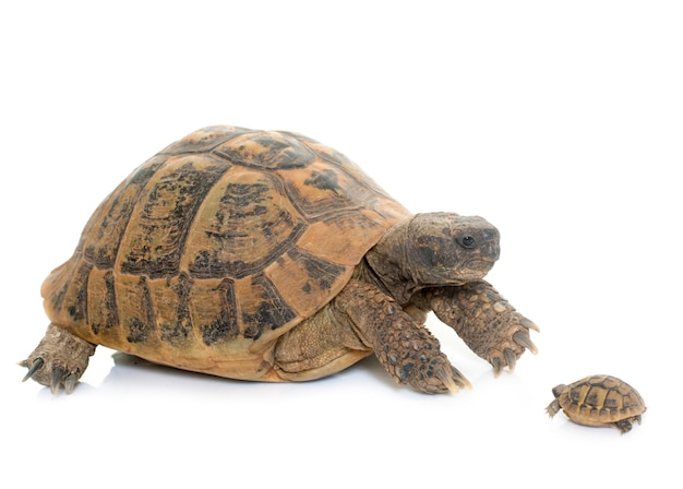Hermanns tortoise i baby turtle