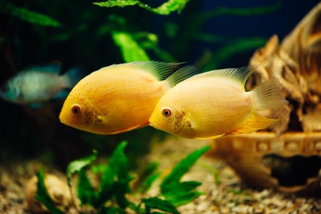 Heros severus. dwie żółte ryby pływające razem.