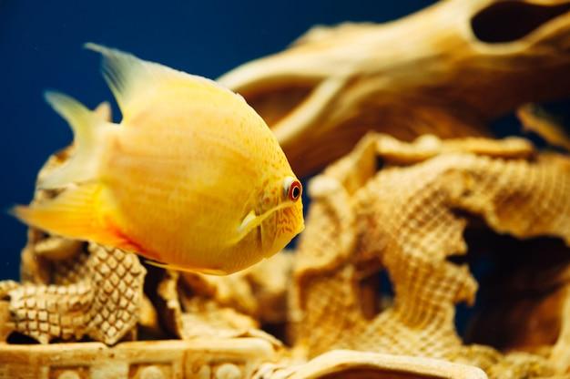 Heros severus pływa na dekoracyjny statek akwariowy.
