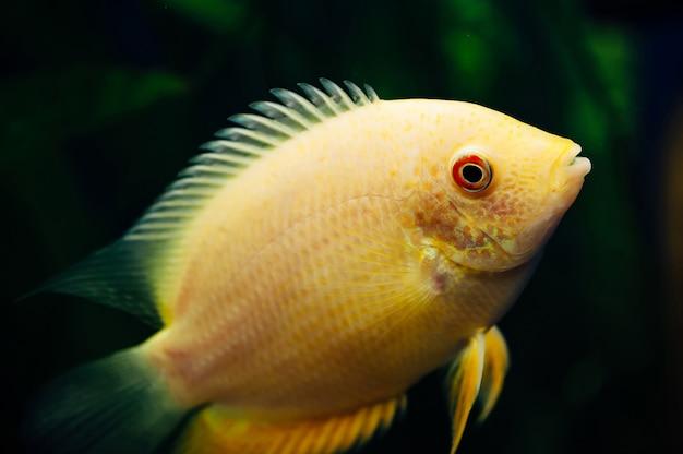Heros severus pływa w akwarium. żółta ryba.