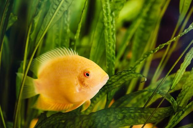 Heros severus unosi się w akwarium domowym wśród glonów. duża żółta ryba.