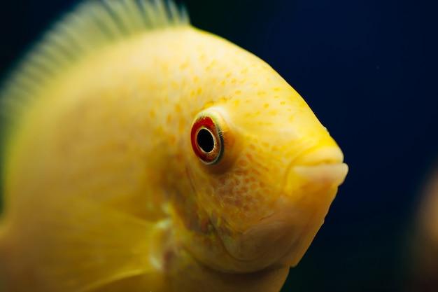 Heros severus w domowym akwarium. żółta ryba.