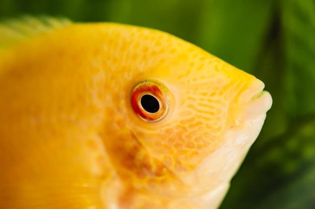 Heros severus. żółta akwarium ryba na zieleni