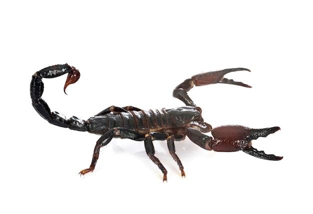 Heterometrus spinifer skorpion na białym tle