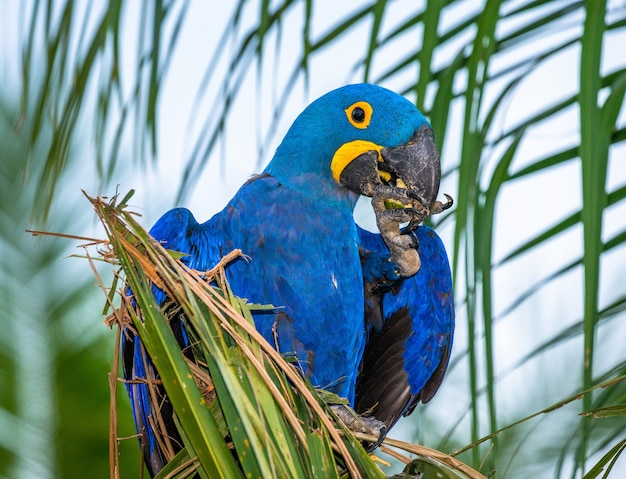 Hiacynt ara siedzi na palmie i je orzechy