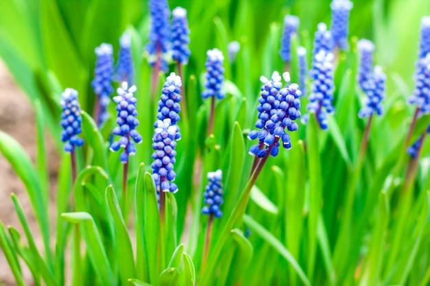 Hiacynt winogronowy (muscari armeniacum) na wiosnę