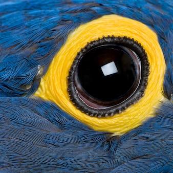 Hiacyntowa ara, z bliska na oko