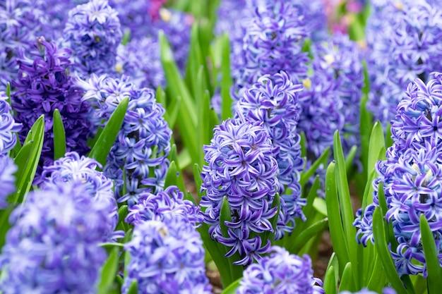 Hiacyntowy kwiat w ogródzie. makro fioletowy kwiat hiacyntu łąki w sezonie wiosennym.