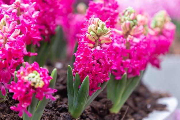 Hiacyntowy kwiat w ogrodzie w wiosenny dzień.