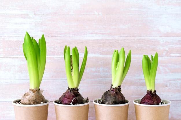 Hiacyntowy kwiat w papierowych garnkach i narzędziach ogrodniczych na drewnianej ścianie. wiosenna ściana ogrodowa, sadzenie hiacyntu. wielkanocna ściana, wiosny pojęcie