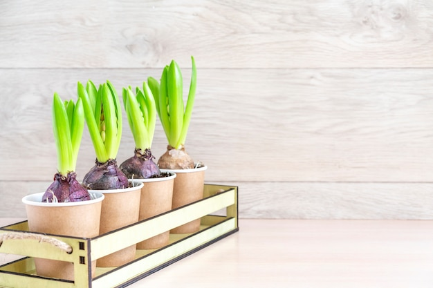 Hiacyntowy kwiat w papierowych garnkach na drewnianej ścianie. wiosenna ściana ogrodowa, sadzenie hiacyntu. wielkanocna ściana, wiosny pojęcie