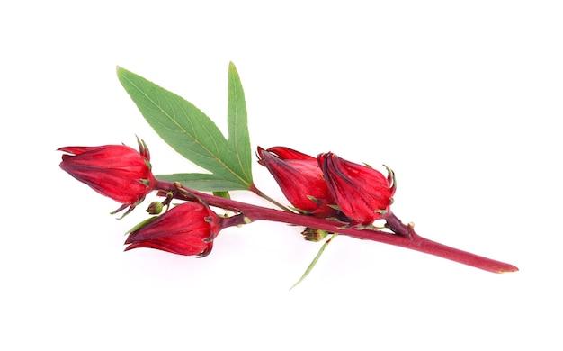 Hibiscus sabdariffa lub owoce roselle na białym tle