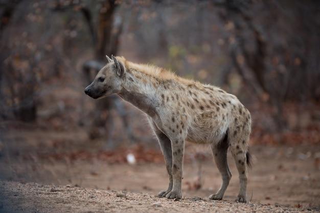 Hiena cętkowana stojąca na ziemi gotowa do polowania na zdobycz