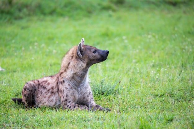 Hiena leży na trawie na sawannie w kenii