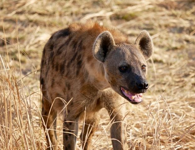 Hiena w parku narodowym south luangwa