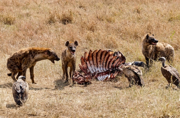 Hieny jedzące martwe zwierzę w parku narodowym serengeti w tanzanii
