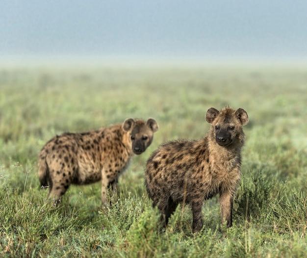 Hieny odwracające wzrok w parku narodowym serengeti