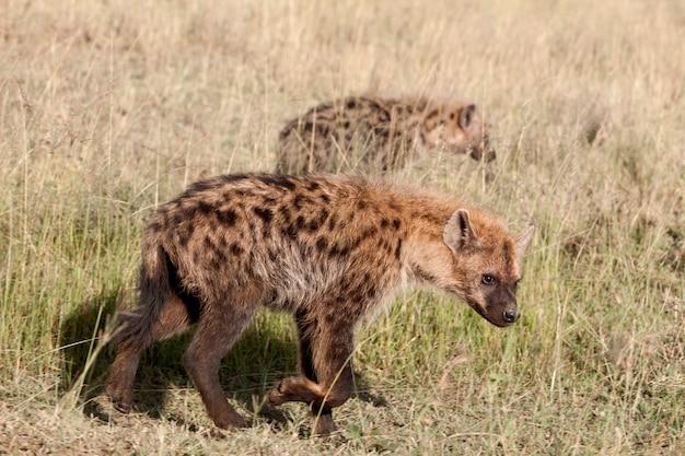 Hieny w parku narodowym serengeti