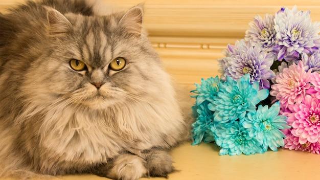 Highland prosty kot puszysty prosto ucha leży obok bukietu kolorowych chryzantem