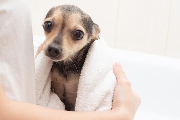 Higiena i zdrowie psa. śliczny, mały zwierzak po kąpieli w ręczniku na dłoniach, wygląda dużymi oczami