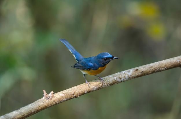 Hill blue flycatcher na gałęzi