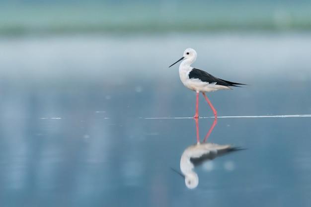 Himantopus himantopus czarnoskrzydły stojący i żerujący w wodzie w pięknym jeziorze