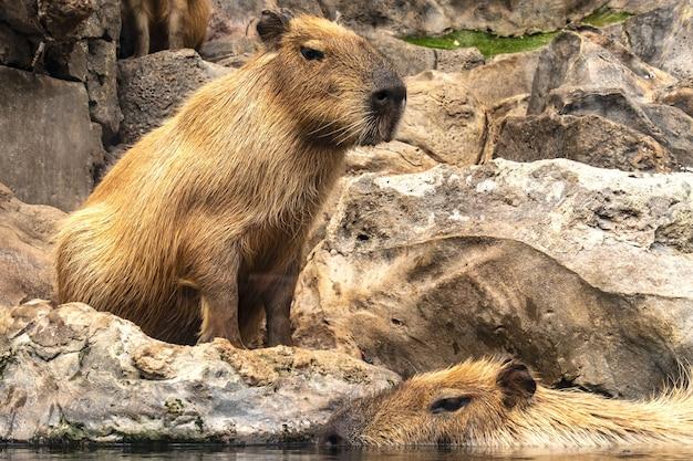 Hipnotyzujące ujęcie kapibary w puerto de la cruz na teneryfie