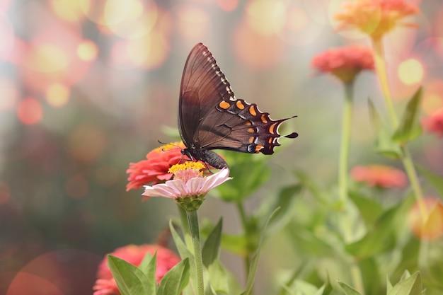 Hipnotyzujące zdjęcie makro małego czarnego motyla satyrium na różowym kwiatku